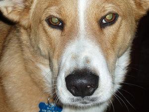 Dingo_as_beauty_incarnate