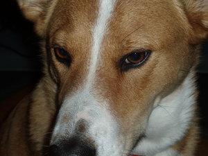 Dingo_as_beauty_incarnate2